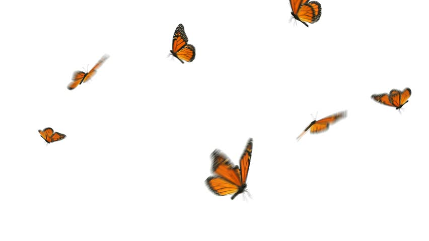 Monarch butterflies flying away - photo#25