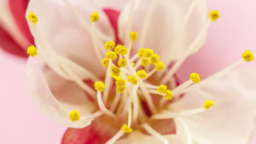 Timelapse video of an Apricot flower blooming on a pink background/Apricot flower blossoming