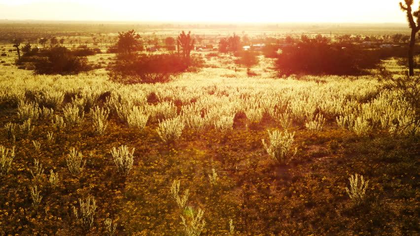 4K Time Lapse of Sunset over Golden Flower Carpet in Mojave Desert -Tilt Up-