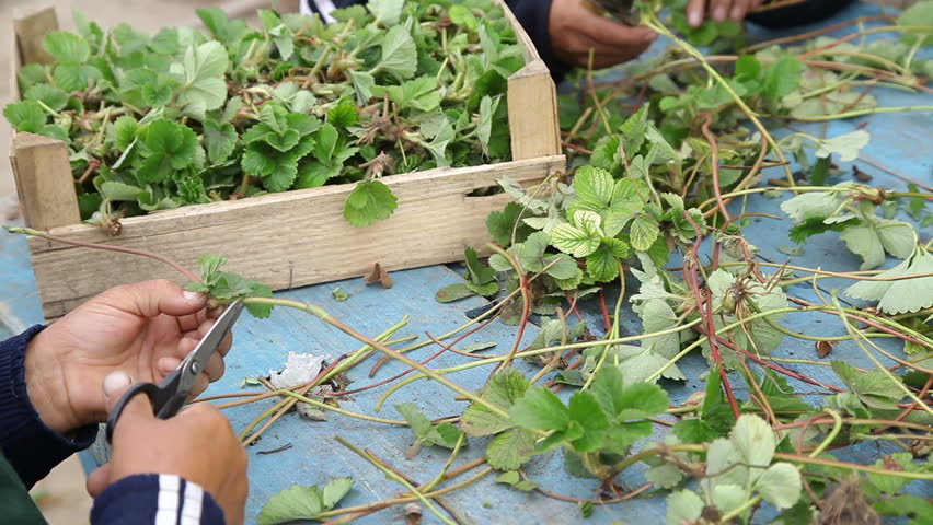 Workers cutting strawberry seedlings for transplanting