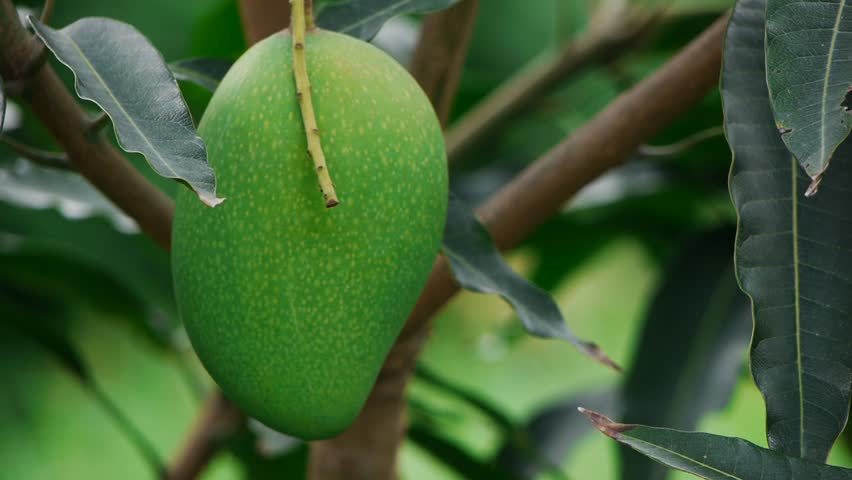 Mango Trees Were Planted Stock Footage Video 7163467