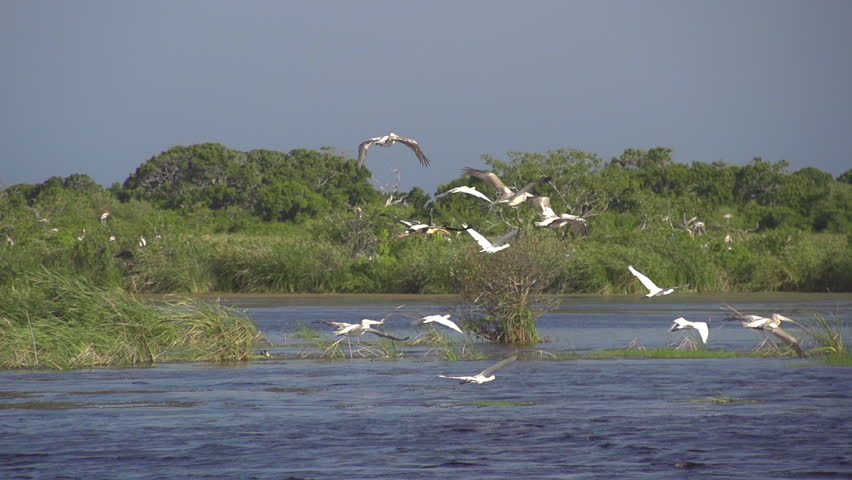 SLOW MOTION: Group of white storks flying over the river - HD stock footage clip