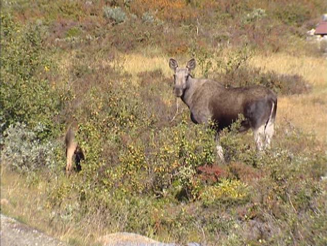 Eurasian elk - photo#16