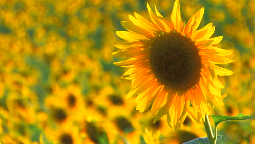 HD Beautiful yellow sunflower in the sun, Closeup, Canon XH A1, FullHD video, 1080p, 25fps, progressive scan  - HD stock video clip