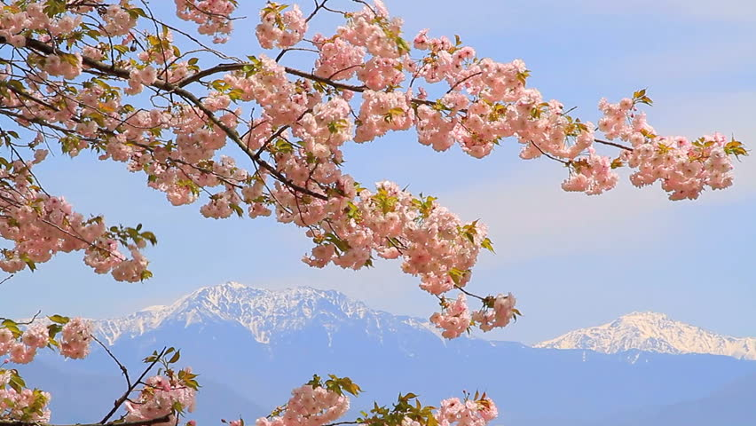 Blossoming cherry tree against the sky and mountains.