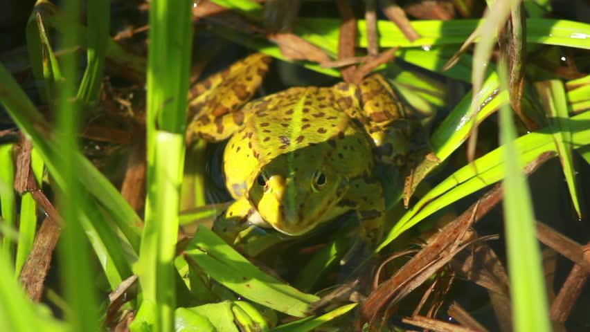 tropical mating toads rhinella hot girls wallpaper