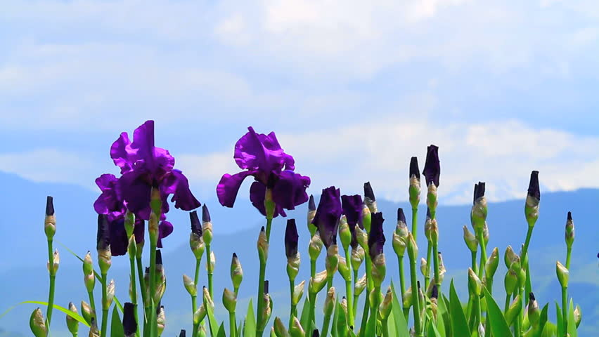 Purple Iris with blue sky and mountain in the background.