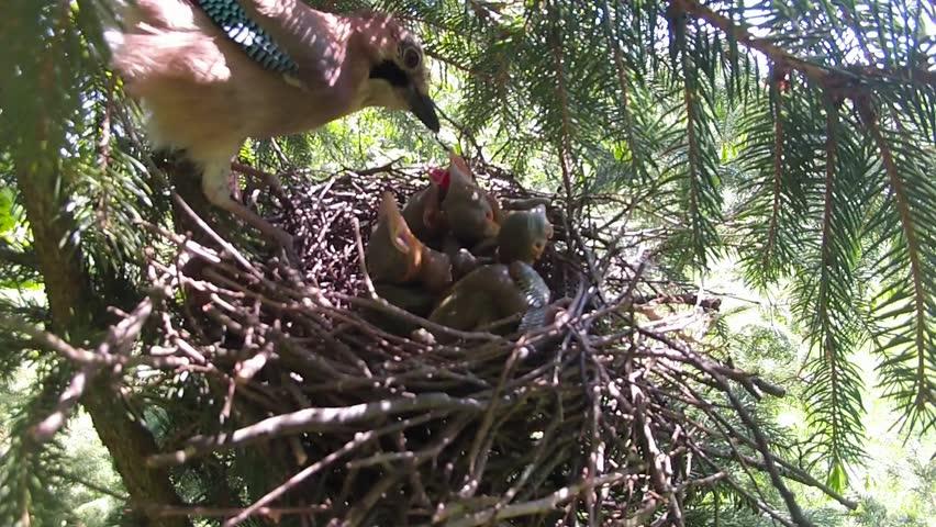 Jay bird (Garrulus glandarius) male feeding the young. - HD stock footage clip