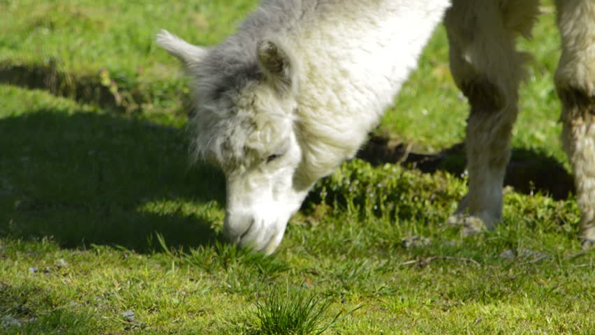 Close up alpaca feeding