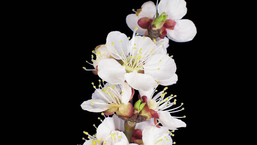 Time-lapse of blooming apricot tree branch 6a4 in DCI-4K PNG+ format with alpha transparency channel isolated on black background.