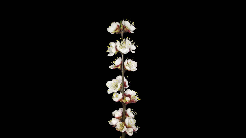 Time-lapse of blooming apricot tree branch 4d4 in DCI-4K PNG+ format with alpha transparency channel isolated on black background.