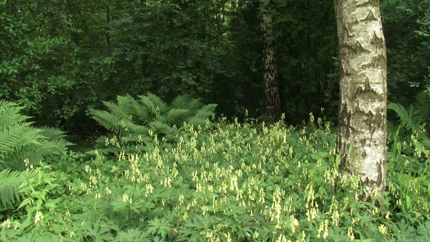 Header of Aconitum vulparia