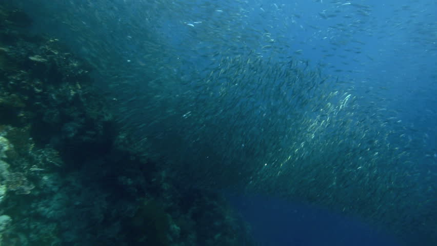 Shoal of sardines swimming above coral reef in Moalboal, Philippines