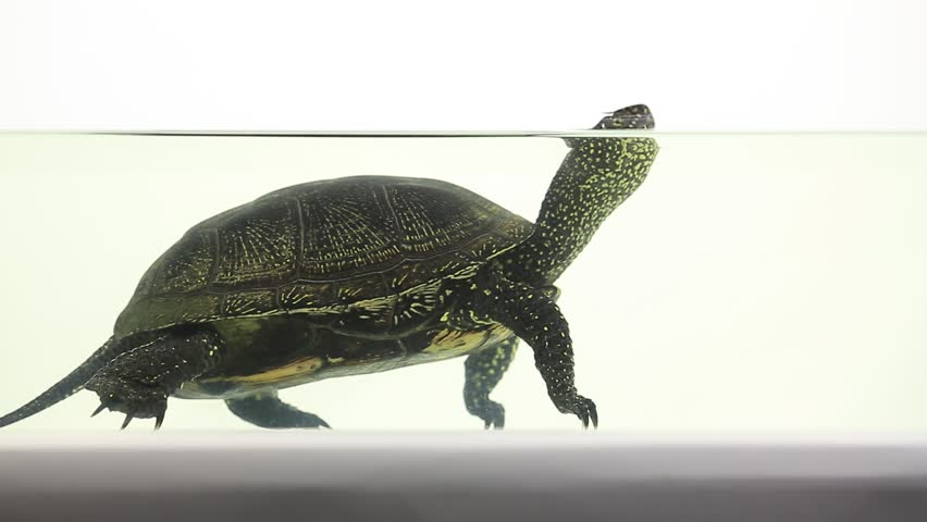 Semi Aquatic Turtle Tank : Semi-aquatic+turtles footage #page 2 Stock clips & videos