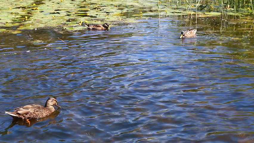 Wild ducks are feeding on water plants while swimming in for Duck pond water