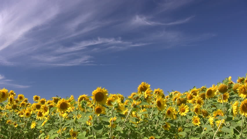 Field Of Sunflowers Swaying In A Light Breeze