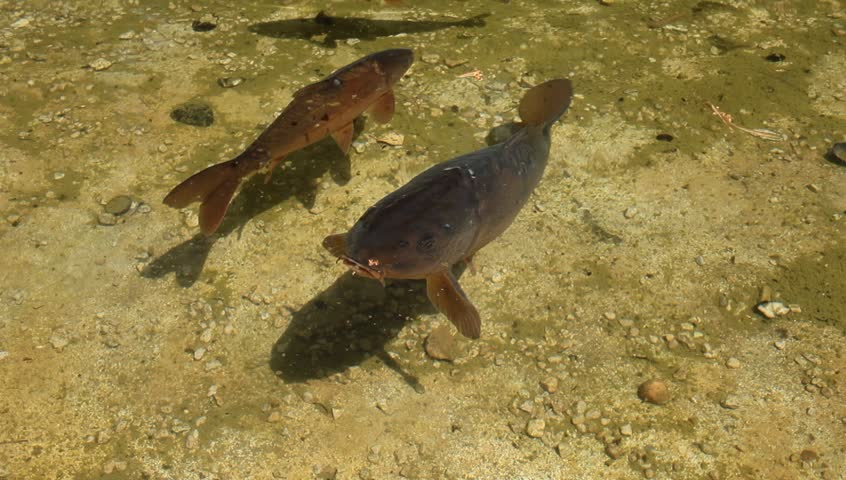 Video of a curious carp coming closer in front of the camera.