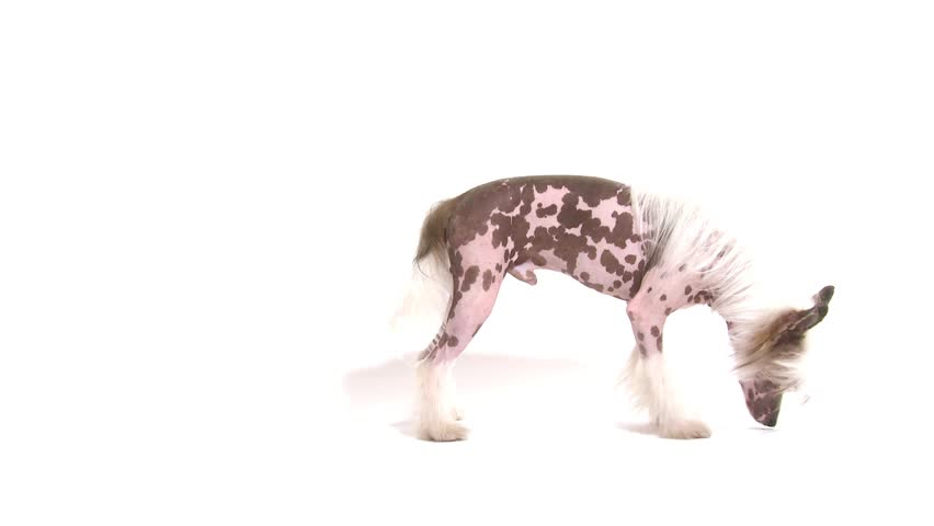 Studio shot of a purebred Hairless Chinese Crested dog chasing its own tail in front of white background  - HD stock footage clip