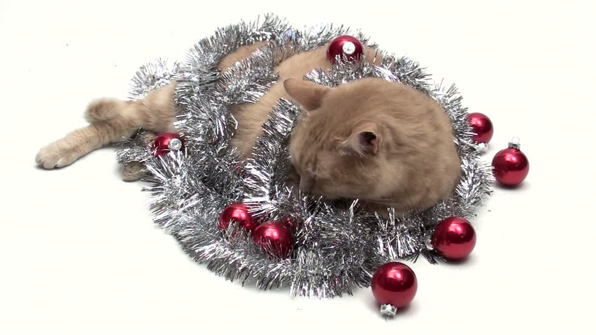 Cat with holiday tinsel and baubles isolated on white V8 - HD stock video clip