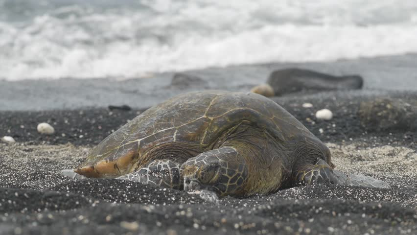 Kiholo Bay, Hawaii - June, 2014 - Medium shot of a sea turtle sunbathing.