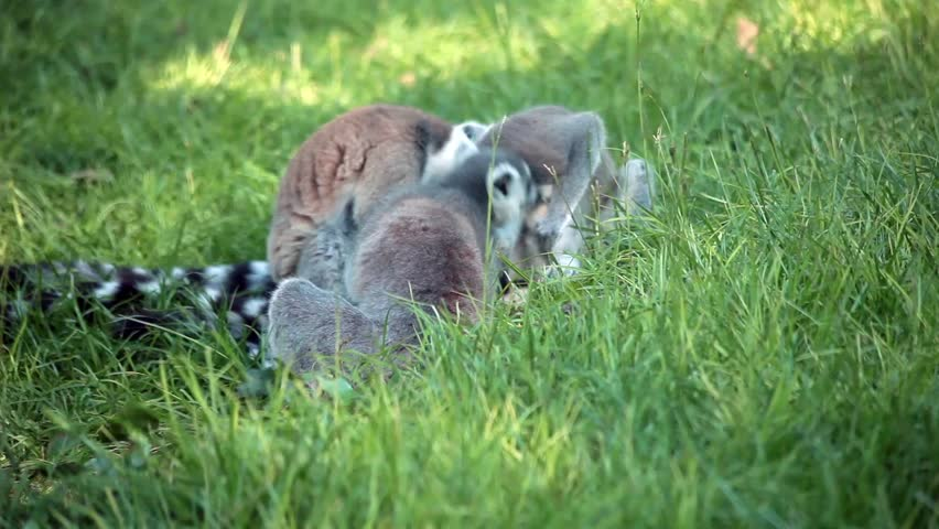 Video clip of three ring-tailed lemurs (Lemur Catta) sitting together in the grass.