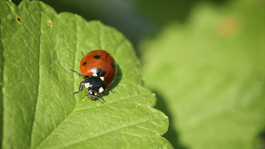 Video FullHD - Coccinella septempunctata (seven-spot ladybird) on green leaf of currant - HD stock video clip