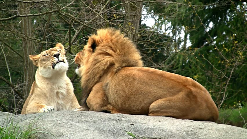 Lion pair loving and kissing - HD stock video clip
