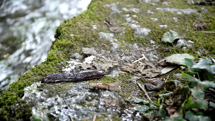 Large slug moving over the moss. Time lapse. - HD stock footage clip