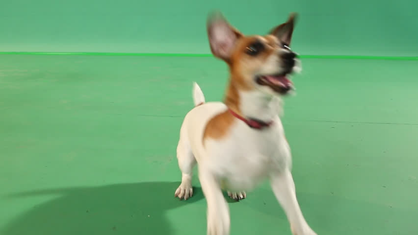 Young active dog gamble jumping. green Screen