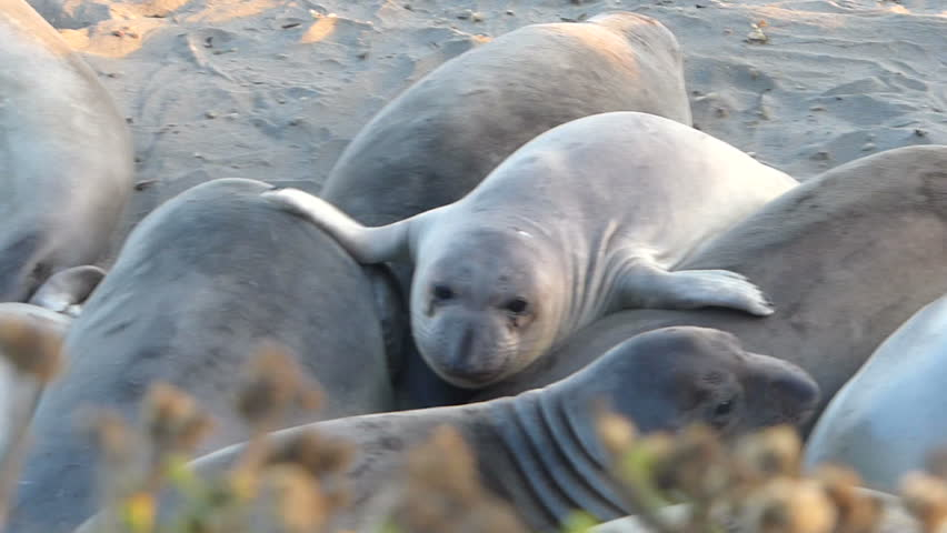 A group of Elephant Seals huddle together for warmth on the beach at the San Simeon Elephant Seal Rookery on the Central Coast of California, USA.