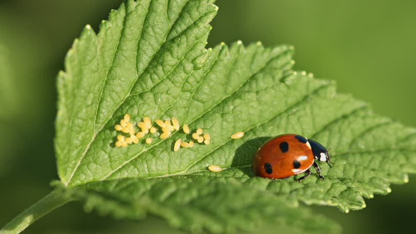 UHD video - Coccinella septempunctata (seven-spot ladybird) on green leaf with eggs - 4K stock footage clip