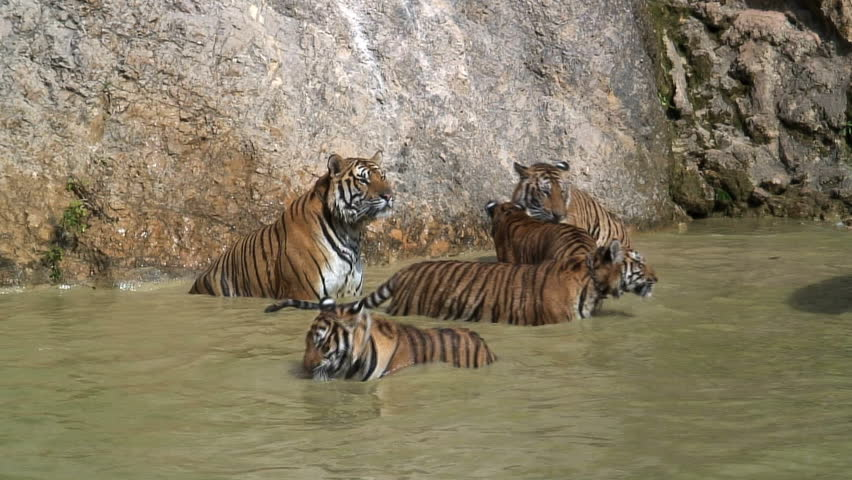 Group of Tigers Playing and Relaxing in captivity Thailand Asia