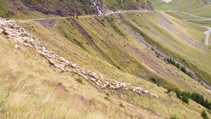 Sheep and shepherd on Fagaras mountains (Transfagarasan)
