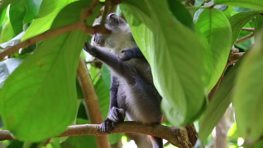 Wild colobus in the guava trees. Jozani Park, Zanzibar. Tanzania - HD stock footage clip