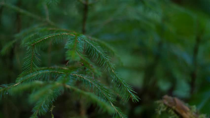 A macro view of a Sitka Spruce Sapling