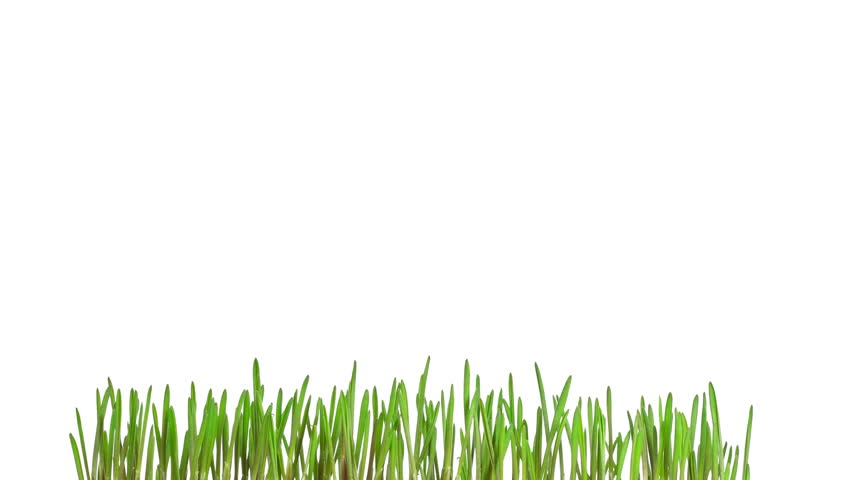 Green grass growing time-lapse - isolated on white background