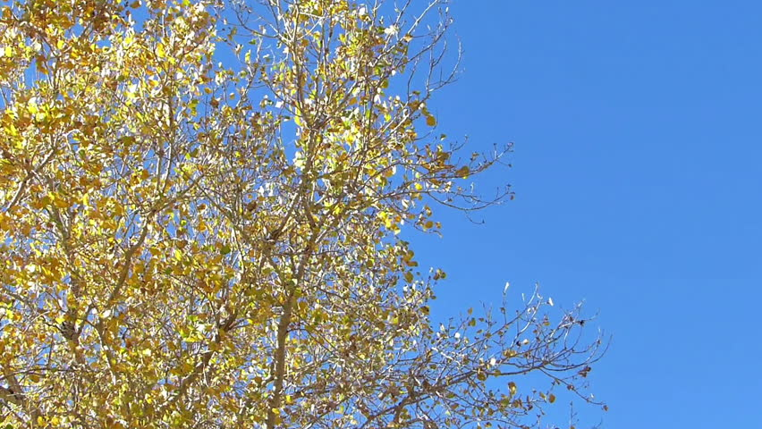 Wind blowing through yellow leaves on tree branches against a clear blue sky with natural sound.