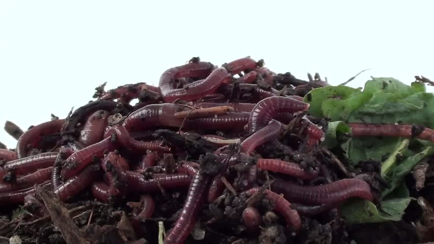 Ball of redworms (Eisenia fetida) on the compost pile. Visible early developmental stages of worms and woodlice. - HD stock video clip