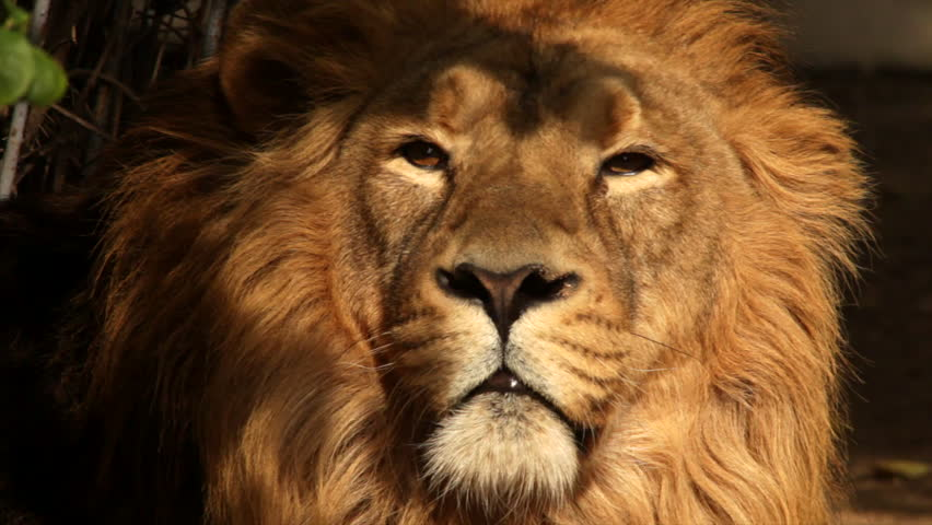 8k Animal Wallpaper Download: Frown Expression On Golden Face Of Drowsy Asian Lion Close