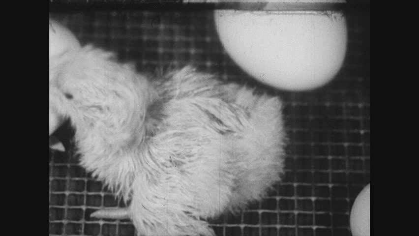 UNITED STATES 1940s-1950s : More eggs hatch until almost all chicks are inside the locked tray which is taken out by the farmer.