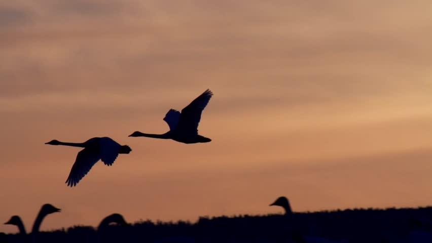 waterbirds  at hornborga lake - sweden