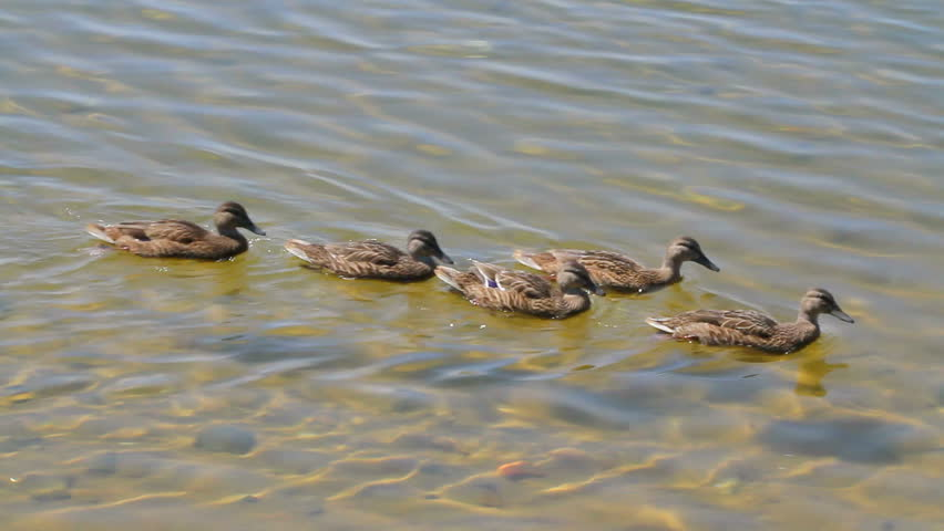 Five young wood ducks swimming in clear fresh water. Plumage is in Autumn eclipse stage.