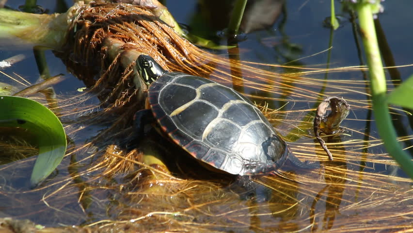 Turtle jumps in water.  Resting on grass and reeds in a fresh water lake. Hears a noise pops his head up and quickly jumps in the water and swims away. Closeup