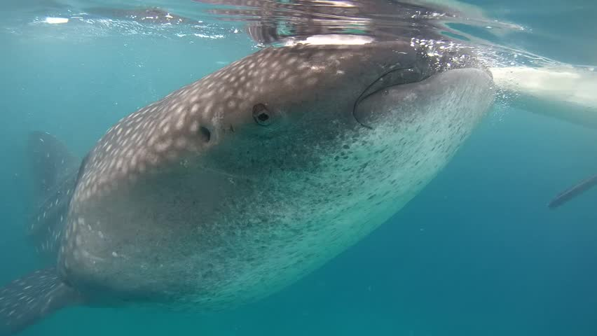 Whale shark (Rhincodon typus) feeds on plankton by filtering water, Bohol Sea, Oslob, Cebu, Philippines, Southeast Asia