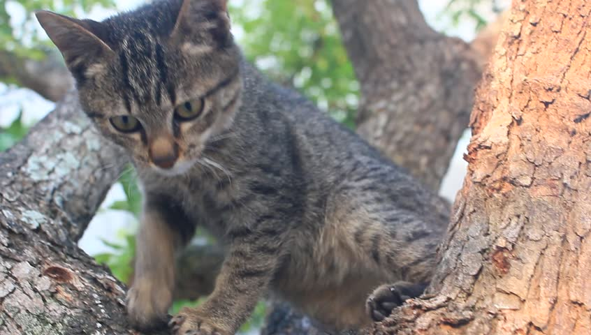 feral cat climbing an apple tree stock footage video 3559730 shutterstock. Black Bedroom Furniture Sets. Home Design Ideas