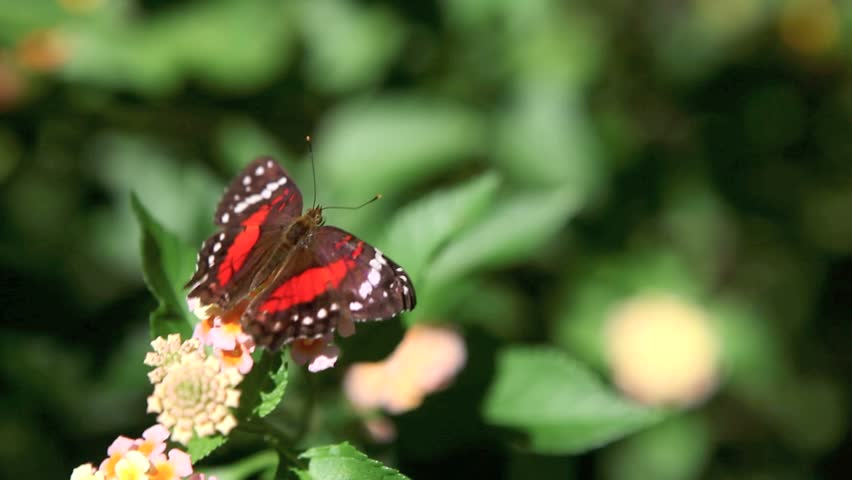 Butterfly on a flower that flies away - HD stock video clip
