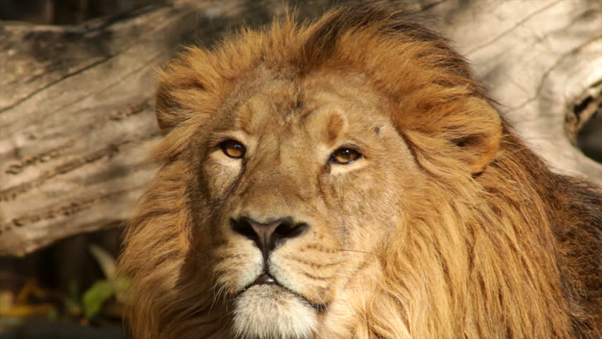 8k Animal Wallpaper Download: Following Look Of A Lion Close Up On Tree Shadow