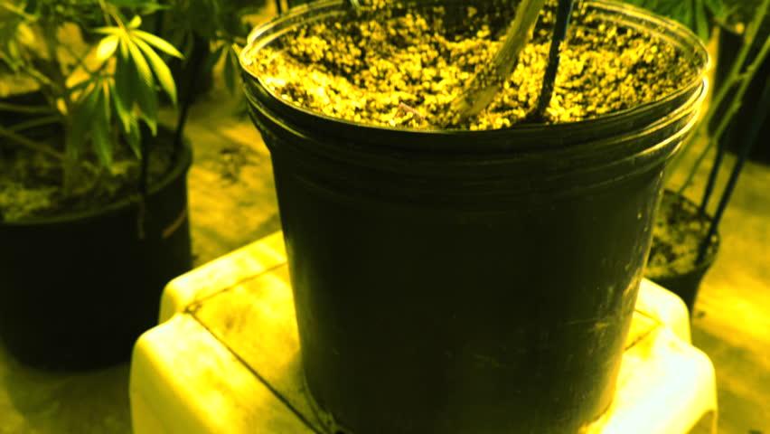 Pan Up to Marijuana Plants Growing Indoor with Dreamy Lighting