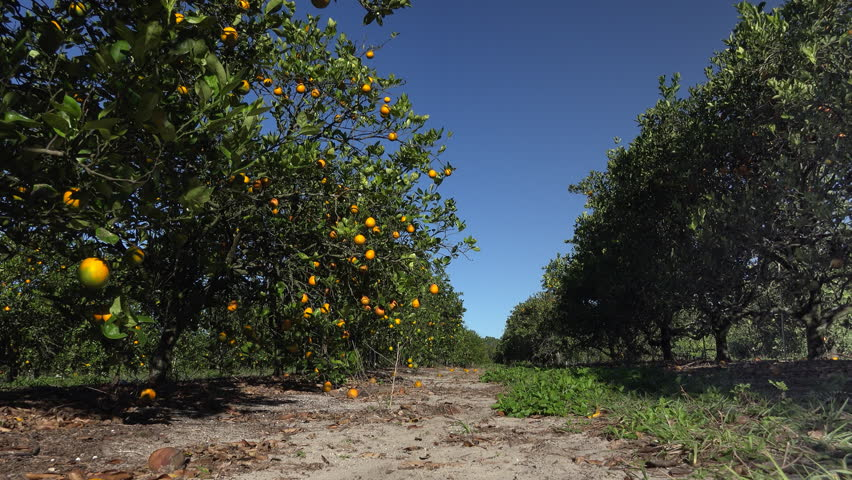 Florida citrus grove.  Citrus fruit ripens on tree in light early morning breeze.