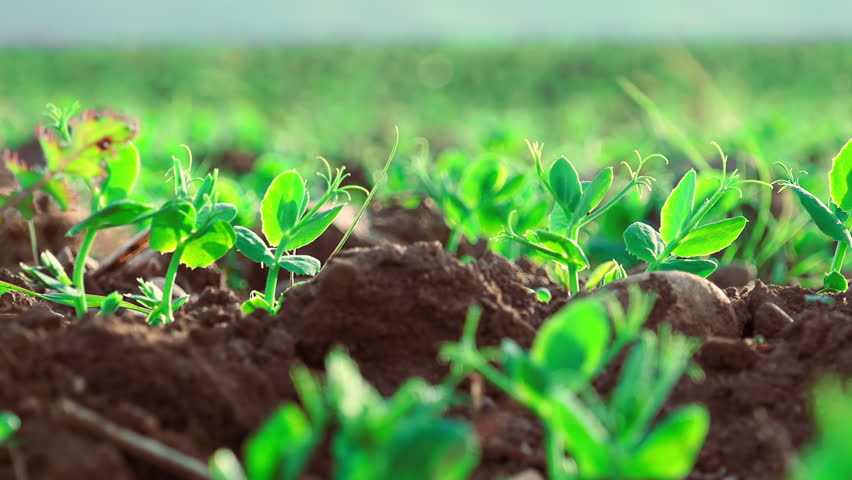 little plants growing: field, nature, agriculture, green, nutrition, ecology